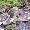 Russula nigricans (6)