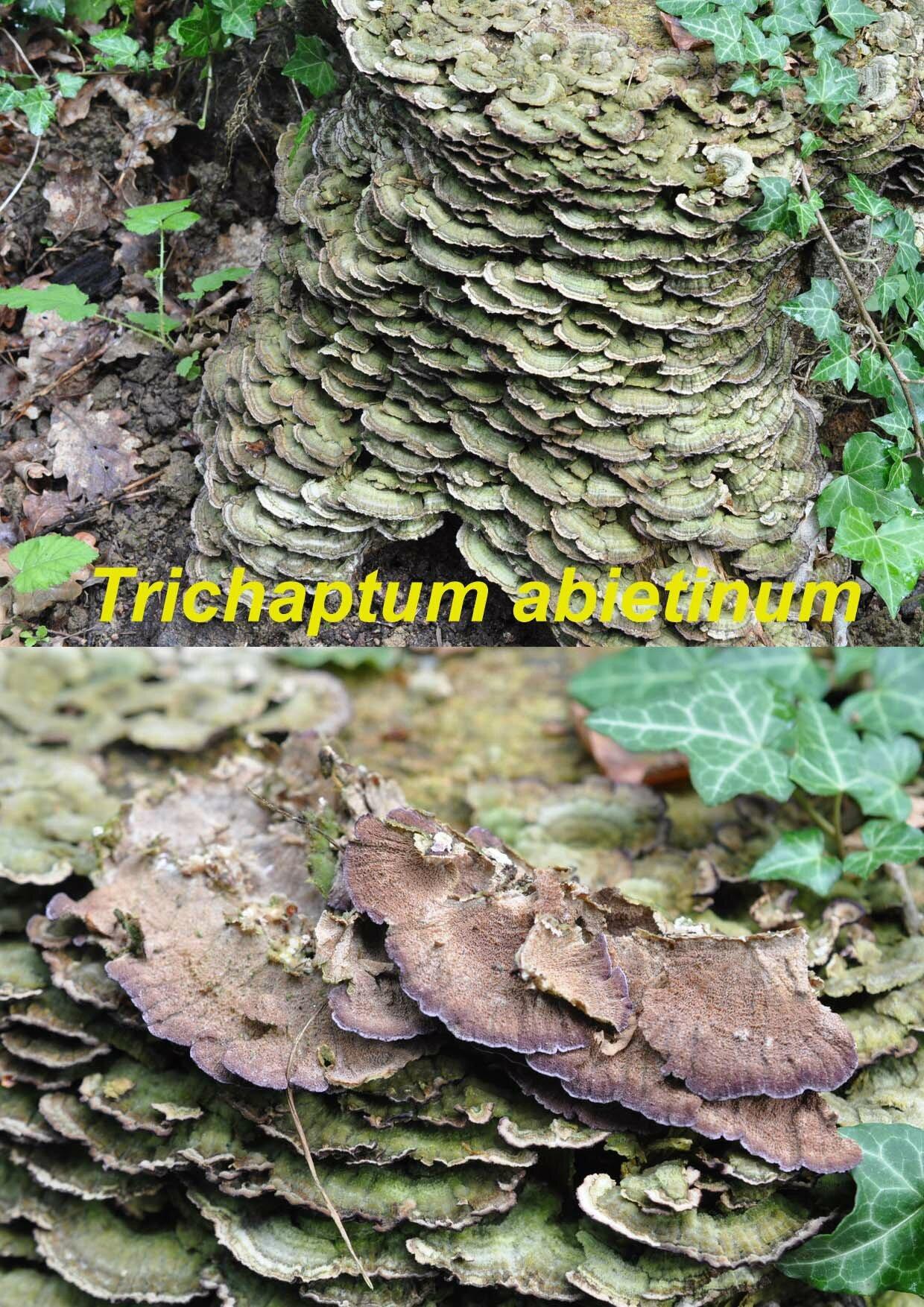 Trichaptum abietinum