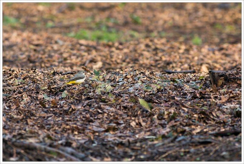 ville bergeronnette sol feuilles 110216