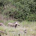 phacochères dans le parc national des lacs Abijatta et Shalla
