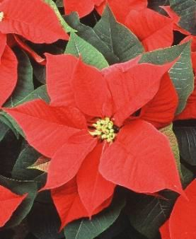 poinsettia_close_