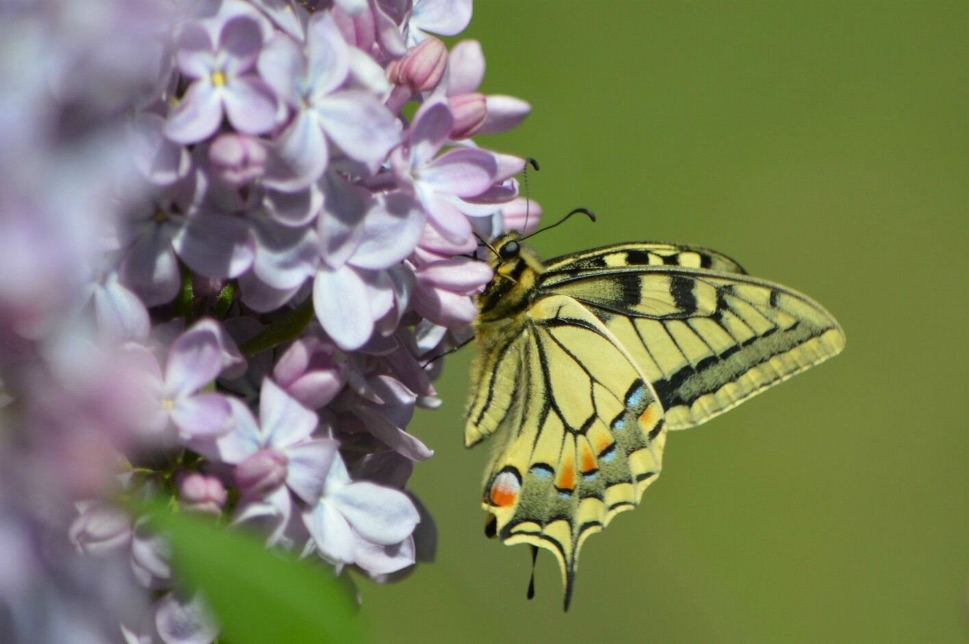 machaon_bourrou_20170409_FA