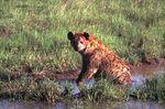hyène chasseuse