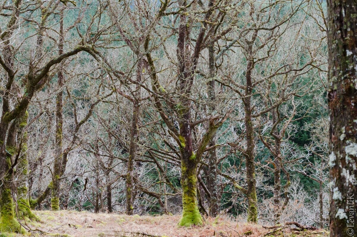 Strone Hill Woods - Trossachs (2)