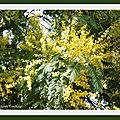 Mimosa, Camélias, Laurier Tin 070219