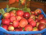 Cueillette_des_pommes_20