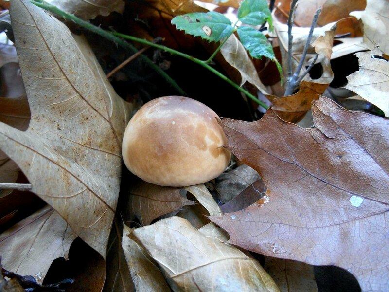 Cèpe de Bordeaux parmi les feuilles...