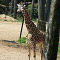 bz_30apr11_giraffe2