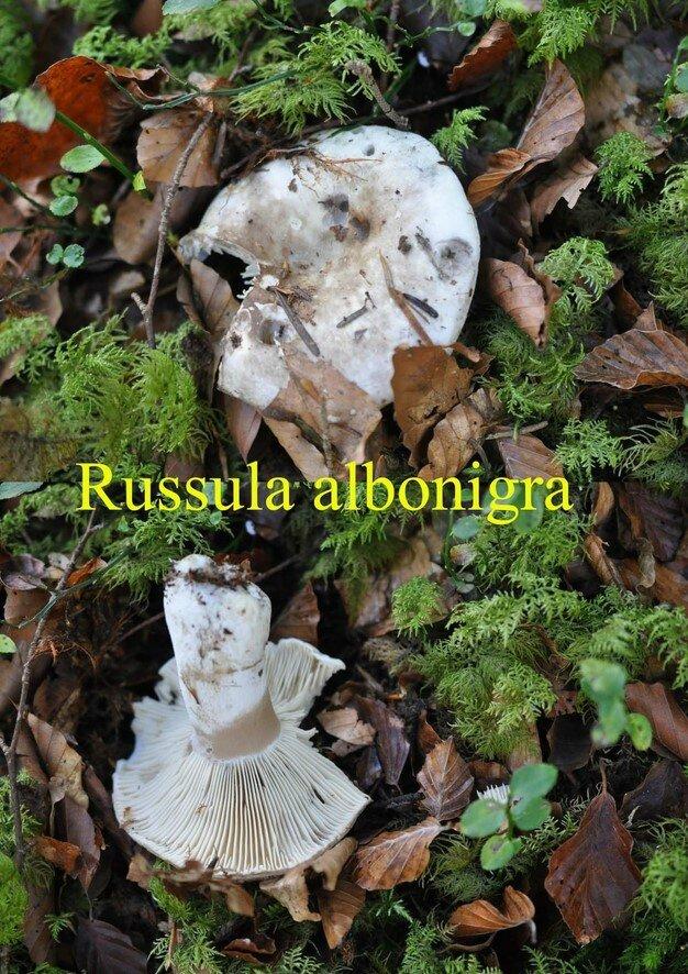 Russula albonigra