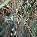Anax empereur - Anax imperator (2)