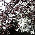 Prunus 2502164