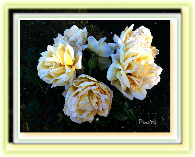 Rose en rond dans mon jardin Rose63