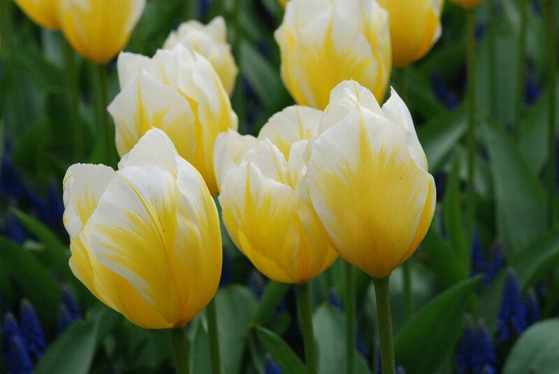 Tulipa fosteriana ' Sweetheart'