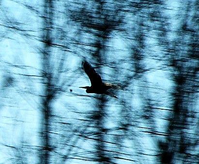 Heron_nov_2008_basse_ville_montbron___Vouthon