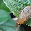 Blatte ou Cafard pâle • Ectobius pallidus (lividus)