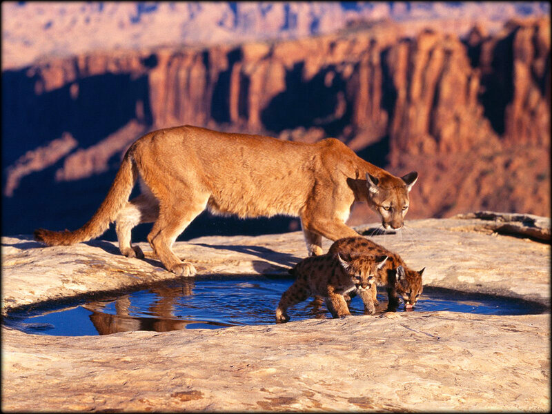 mother_cougar_with_baby
