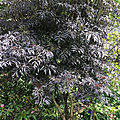 Sambucus nigra Black-Lace