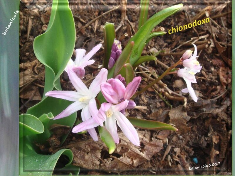 balanicole_2017_03_le printemps des vivaces_02_chionodoxa2
