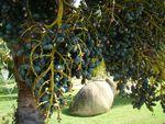 102-Fruits de Livistona chinensis