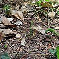 Jeunes cèpes d'été près d'un sentier.