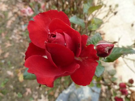 17novembre-fleurs de mon jardin (55)