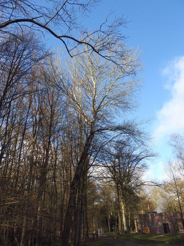 Peuplier grisard (ou P. picard) - Populus x canescens