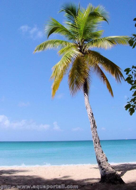 palmier-cocos-nucifera-cocotier