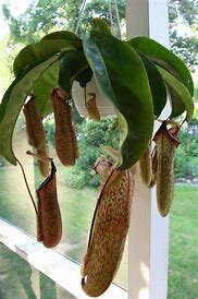 nepenthes3