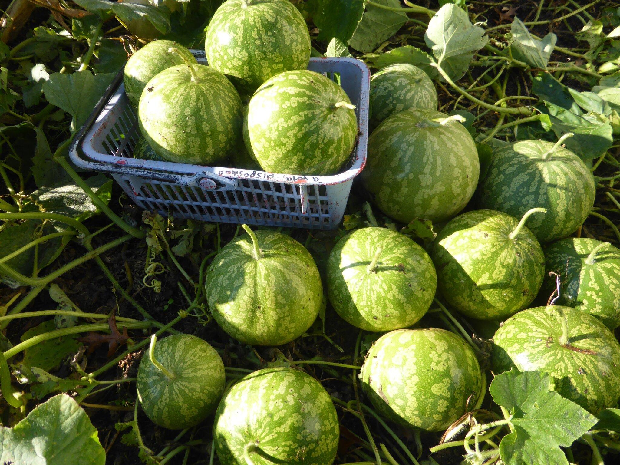 29 octobre - les mystères de la pastèque citresur plusieurs