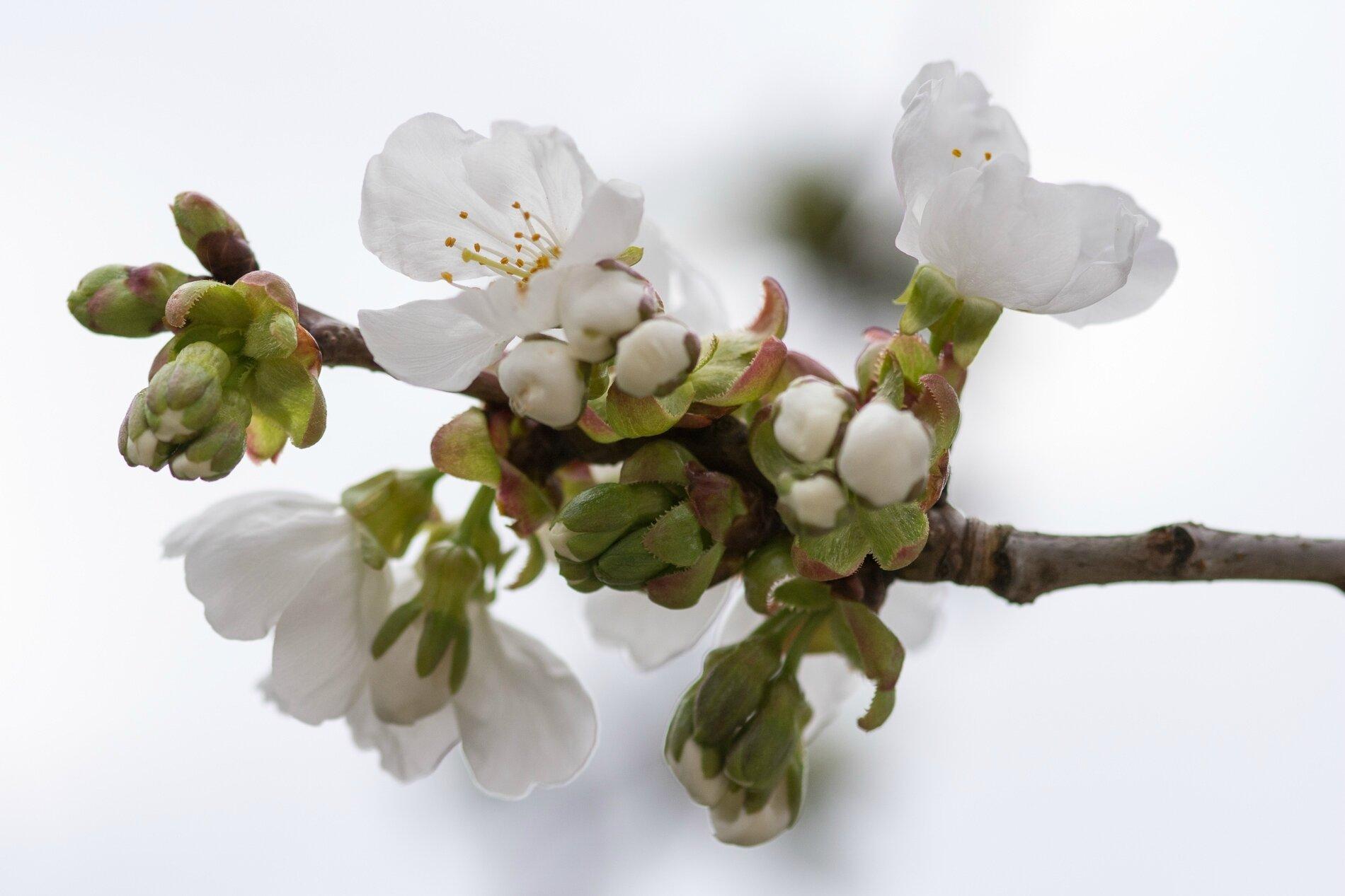 001 Fleur de cerisier