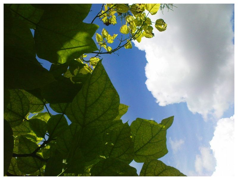 Catalpa versus Nuages