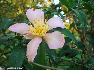 Camellia_sasanqua_Splendour