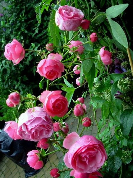 roses_ouvertes