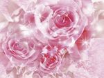 _pink-roses