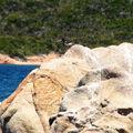 L ' Huîtrier Pie, observé en Corse, au mois d'Août