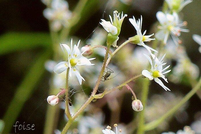 Fleurs blanches en panicule étroite lâche