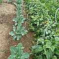 choux brocolis et haricots nains - www.passionpotager.canalblog.com