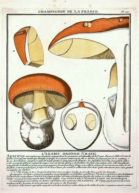 amanita caesarea ex agaricus aurantiacus - agaric oronge vraie