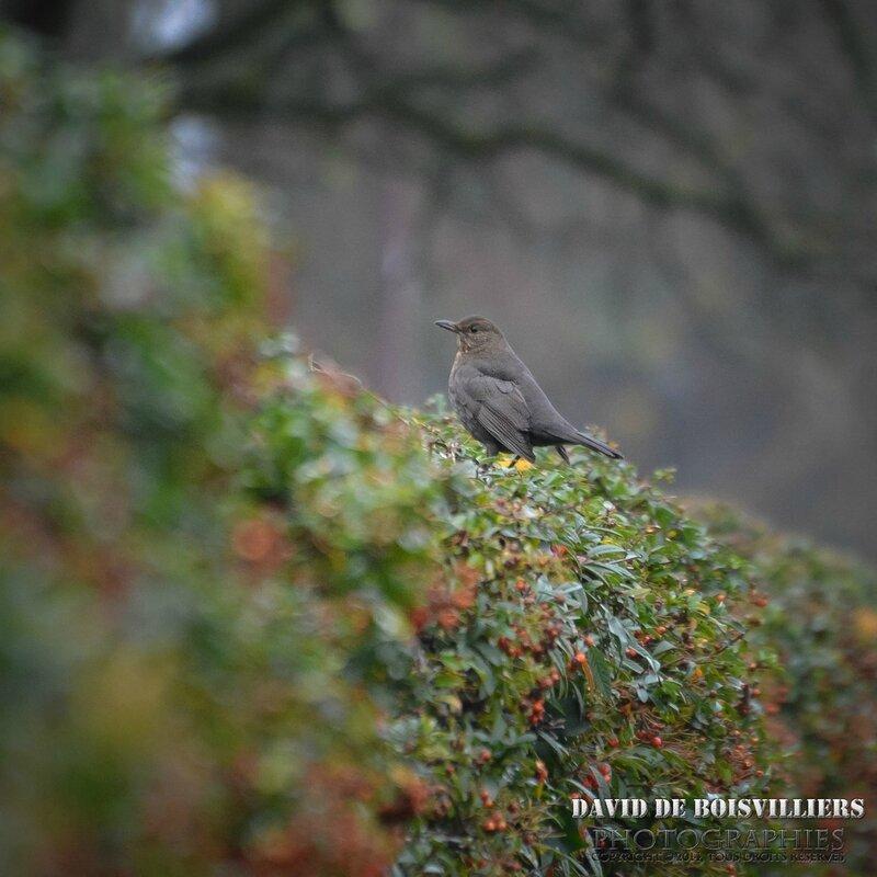 Merle noir (Turdus merula - Common Blackbird) ♀