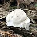 Oligoporus caesia (4)