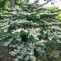 Arbuste à floraison prinanière blanche…