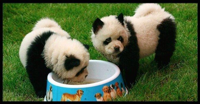 chien panda 2