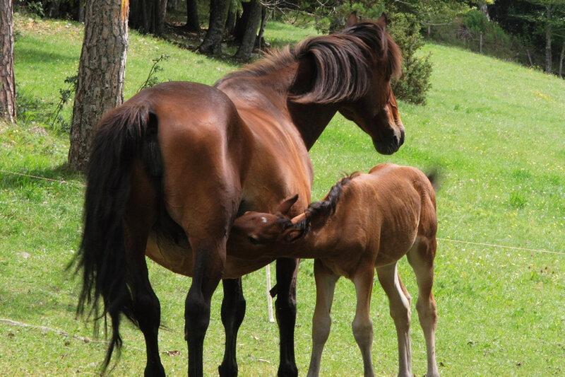 cheval-du-vercors-2
