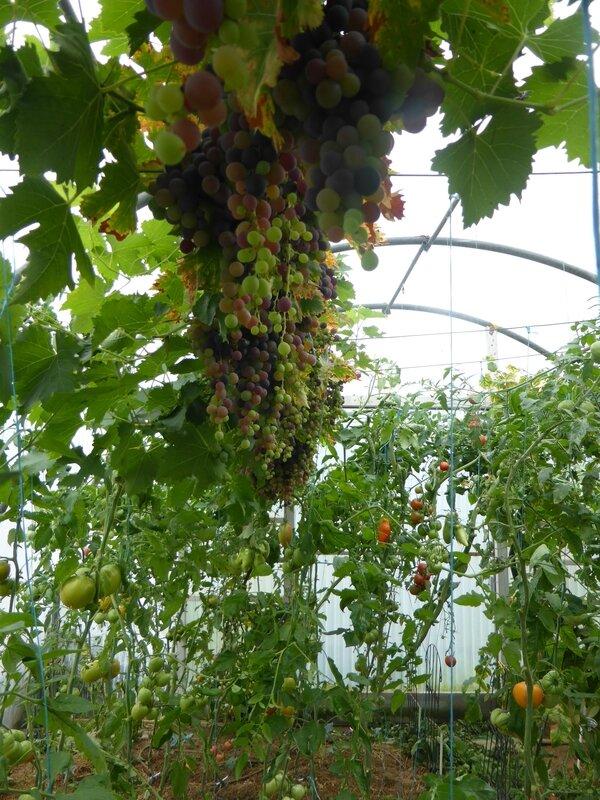 28-serre-tomates-raisins (39)