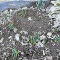 2009 03 11 Bulbes de printemps devant la maison