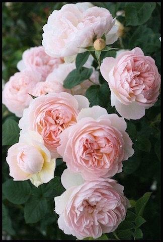 roses rose 2