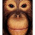Les orangs-outans de sumatra disparaitront d'ici la fin de l'année