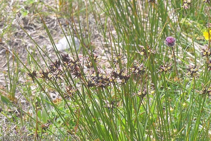 floraison de juillet à septembre aa