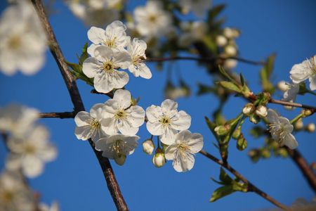 fleurs_cerisier_2