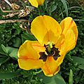 tulipes 008
